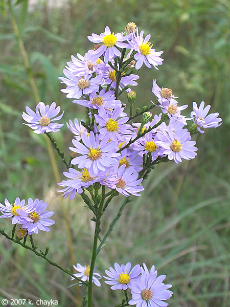 symphyotrichum oolentangiense skyblue aster minnesota wildflowers, Natural flower