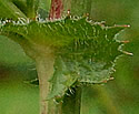 [photo of upper leaf axil]