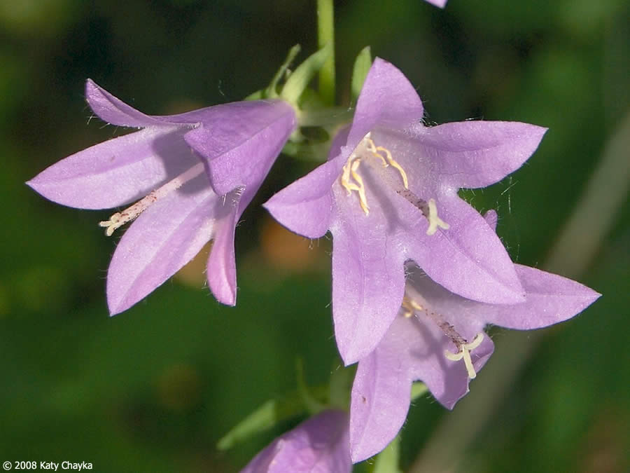 Campanula rapunculoides creeping bellflower minnesota wildflowers close up of flowers mightylinksfo