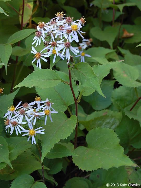 Eurybia macrophylla large leaved aster minnesota for Large garden plants