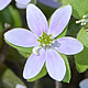 [photo of Hepatica]