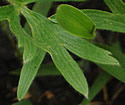[photo of basal leaves]