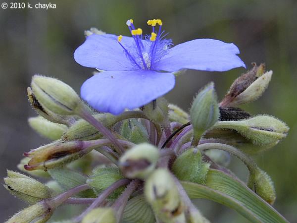 tradescantia occidentalis  spiderwort   minnesota wildflowers