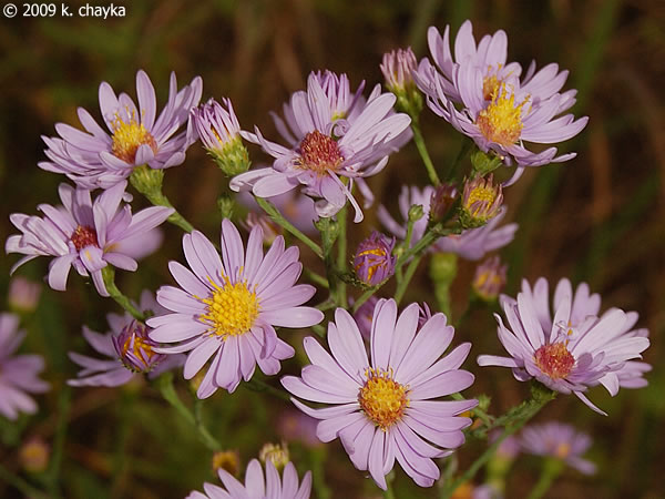 Symphyotrichum laeve smooth blue aster minnesota wildflowers photo of flowers mightylinksfo Image collections