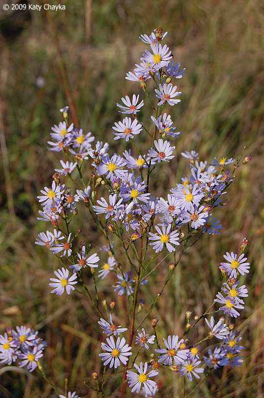 Symphyotrichum oolentangiense (Sky-blue Aster): Minnesota ...