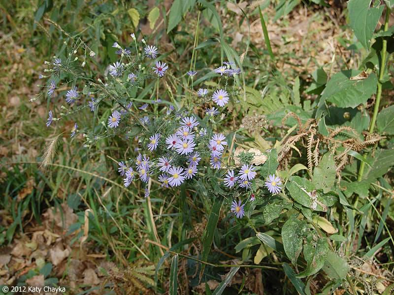 Symphyotrichum Shortii Short S Aster Minnesota Wildflowers