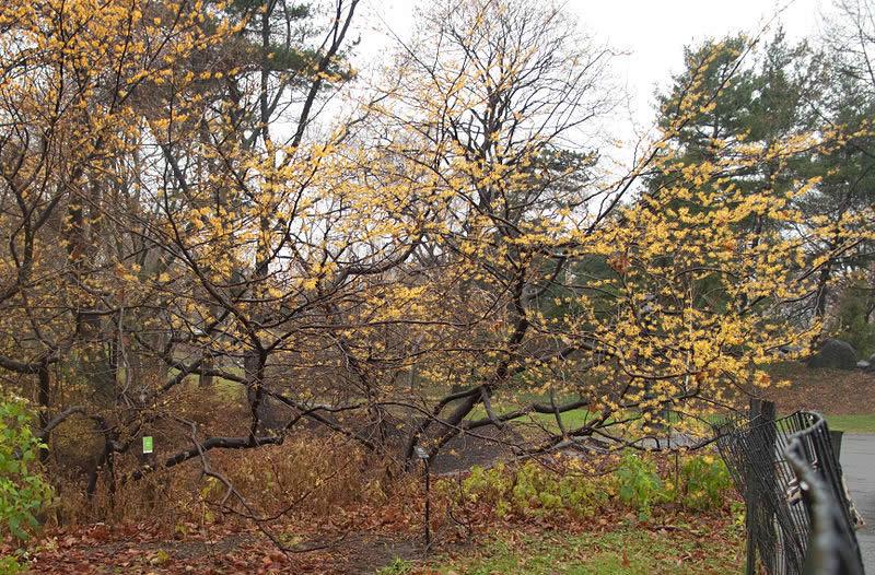 Hamamelis Virginiana Witch Hazel Minnesota Wildflowers
