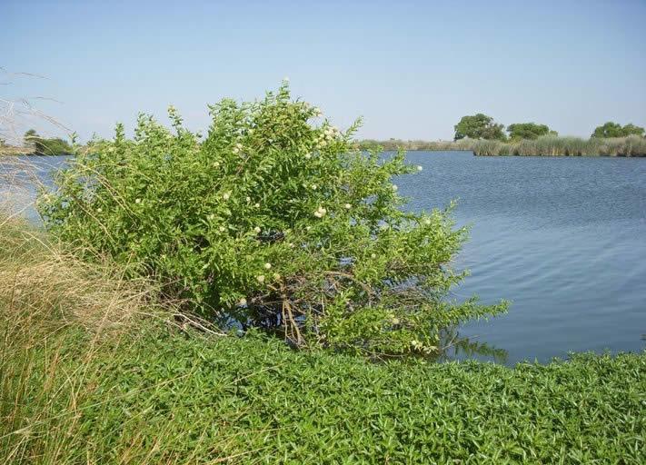 Cephalanthus Occidentalis Buttonbush Minnesota Wildflowers