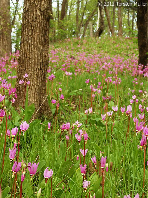 (Jeweled Star Dodecatheon  amethystinum Shooting