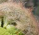 [photo of fiddleheads]