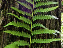 [photo of sterile frond]