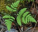 [photo of frond]