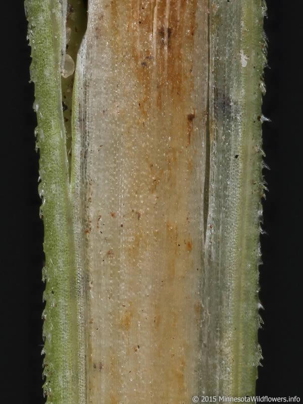 carex blanda  common woodland sedge   minnesota wildflowers