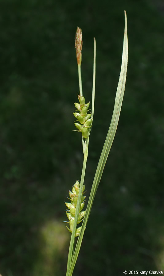 Carex conoidea (Openfield Sedge): Minnesota Wildflowers
