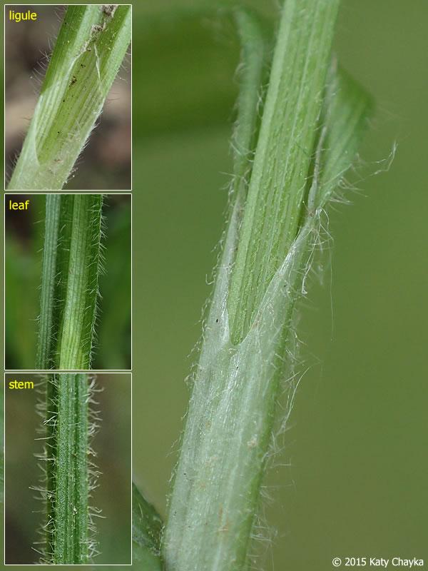 Carex Hirtifolia Hairy Wood Sedge Minnesota Wildflowers