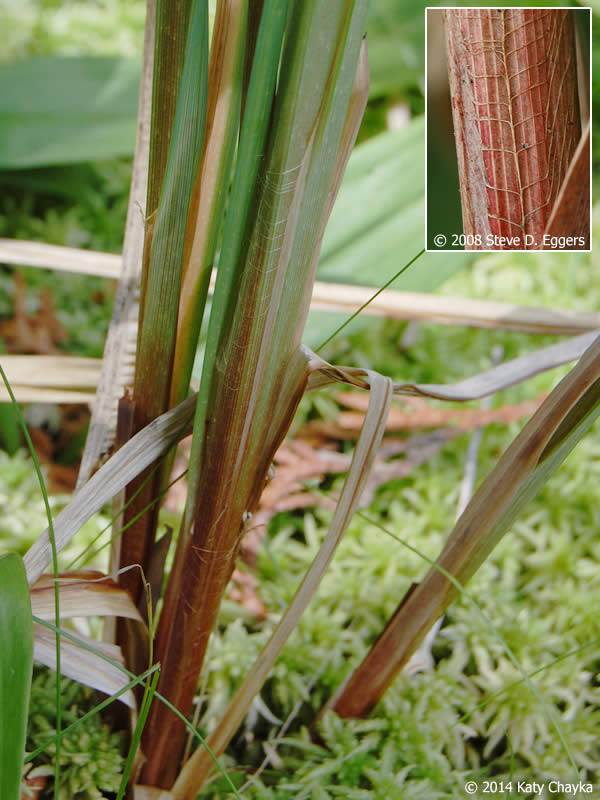 Red Bases For Living Room Decor: Carex Lacustris (Lake Sedge): Minnesota Wildflowers