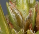 [close-up of spikelets just past flowering]