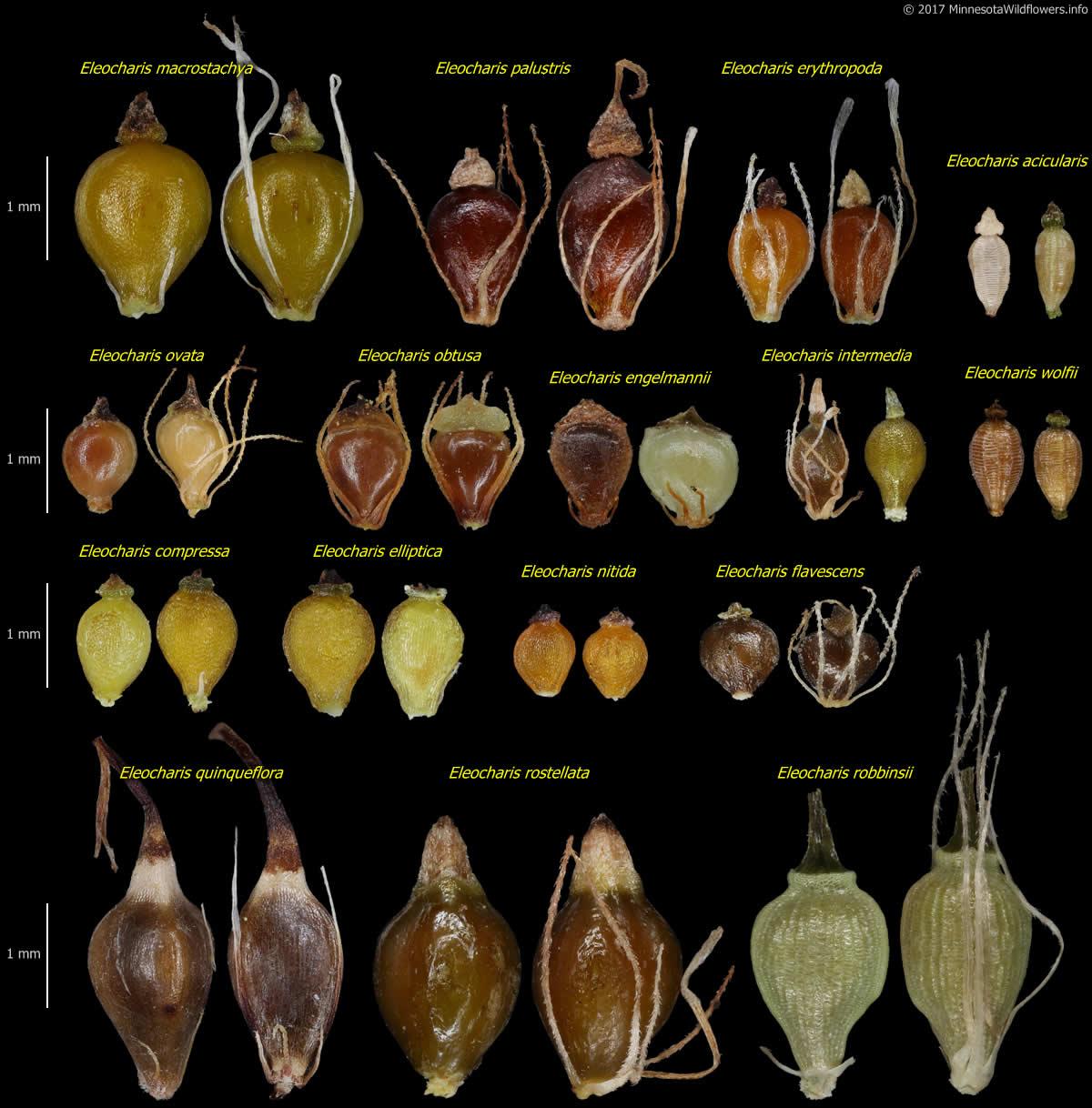 Eleocharis Acicularis Needle Spikerush Minnesota