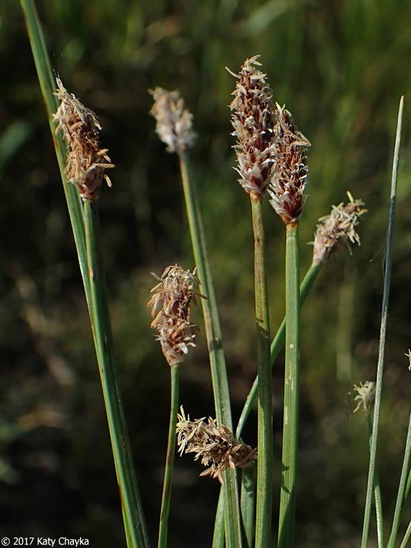Eleocharis Compressa Flatstem Spikerush Minnesota