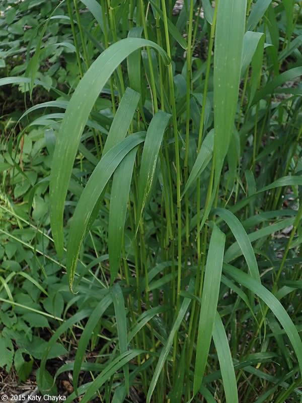 Elymus Hystrix Bottlebrush Grass Minnesota Wildflowers