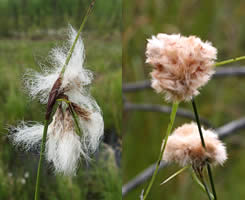 illustration of Cottongrass examples