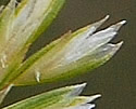 [photo of spikelets]