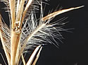 [photo of mature spikelets]