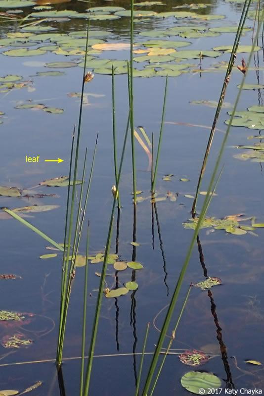 Ct Pick 3 >> Schoenoplectus torreyi (Torrey's Bulrush): Minnesota Wildflowers