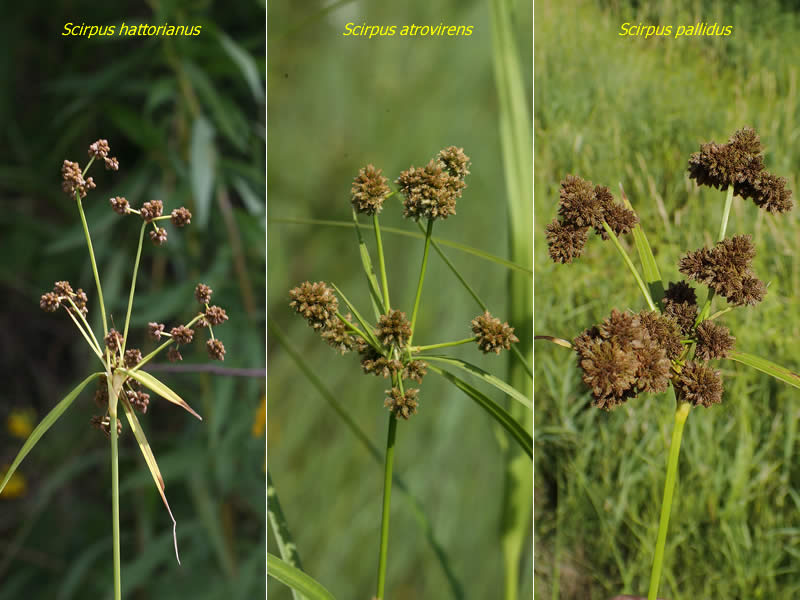 Scirpus (Bulrush) - plants - marginal plants - Pond Life