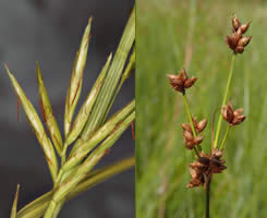 illustration of some sedge characteristics
