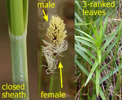 illustration of some general sedge characteristics