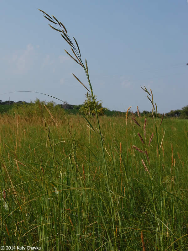 Spartina Pectinata Prairie Cordgrass Minnesota Wildflowers