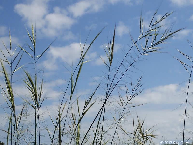 zizania palustris  wild rice   minnesota wildflowers
