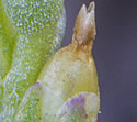 [photo of developing fruit]