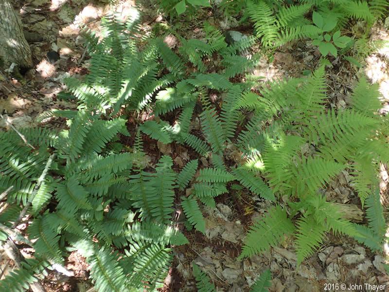 Polystichum Acrostichoides Christmas Fern Minnesota Wildflowers