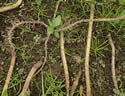 [photo of creeping stems]