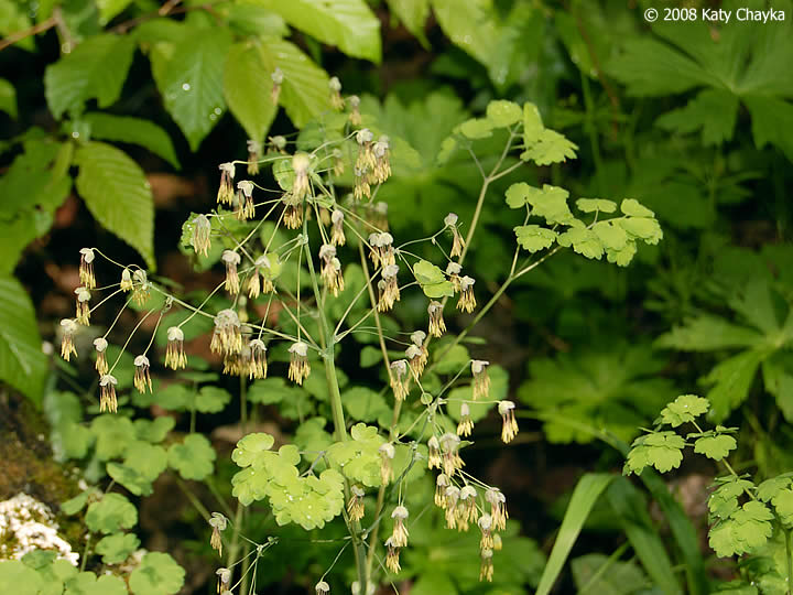 Thalictrum Dioicum Early Meadow Rue Minnesota Wildflowers