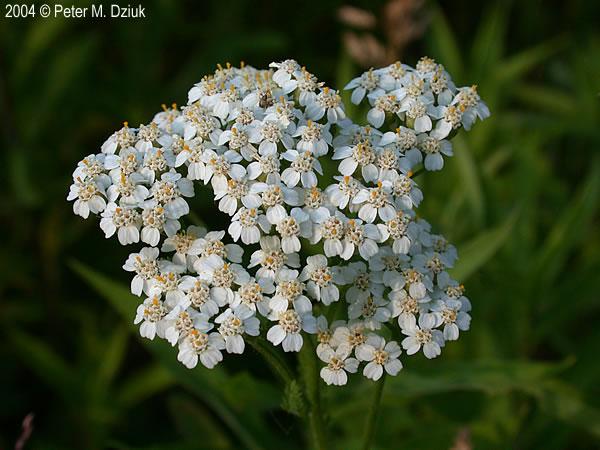 yarrow flower - photo #28