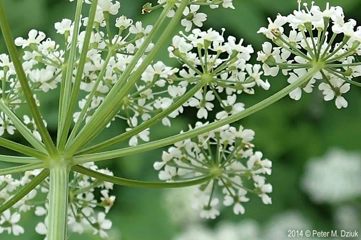 Pick A Part >> Aegopodium podagraria (Goutweed): Minnesota Wildflowers