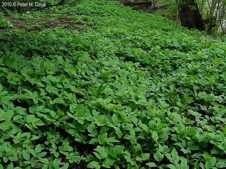 Invasive Ground Cover Plants