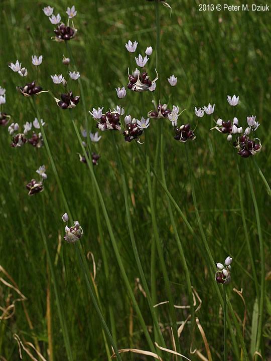 Allium Canadense Wild Garlic Minnesota Wildflowers