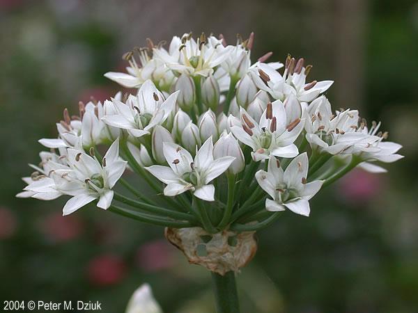 Allium Flower In Chinese