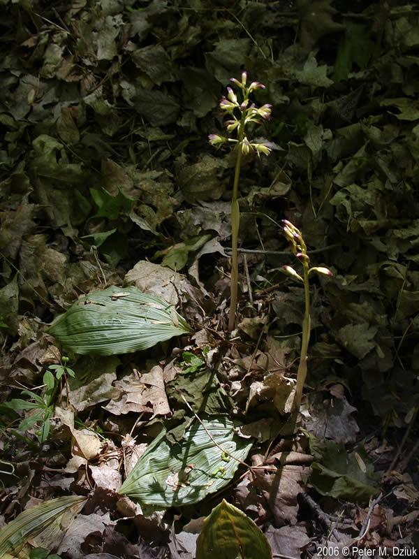 Aplectrum Hyemale Putty Root Minnesota Wildflowers