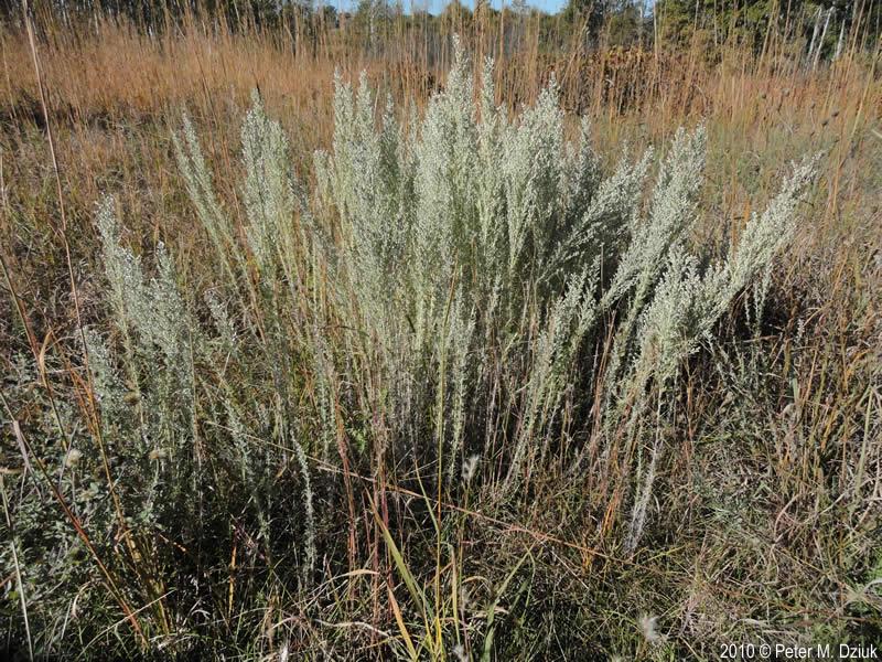 Artemisia frigida (Pra...