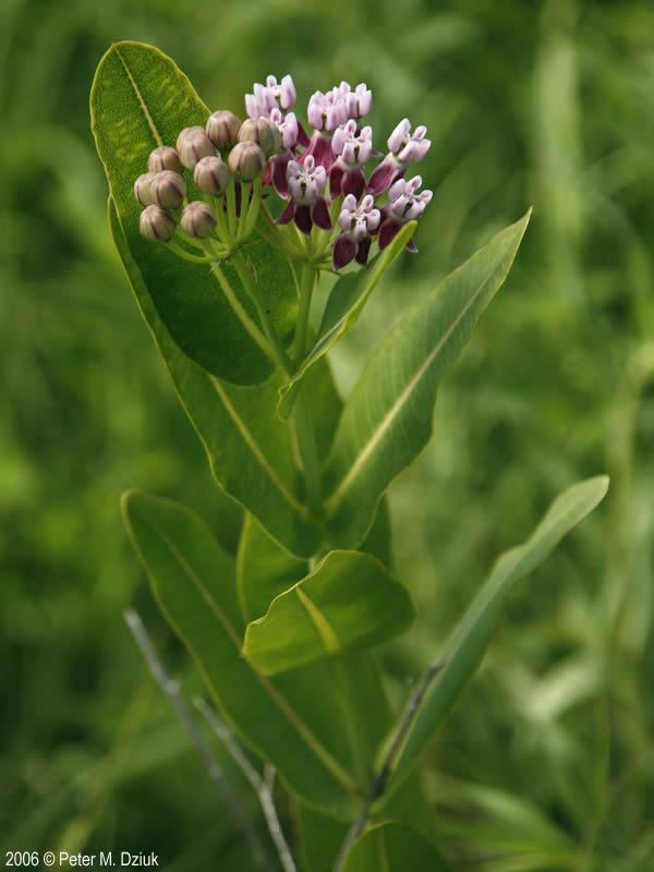Asclepias sullivantii (Sullivant's Milkweed): Minnesota ...