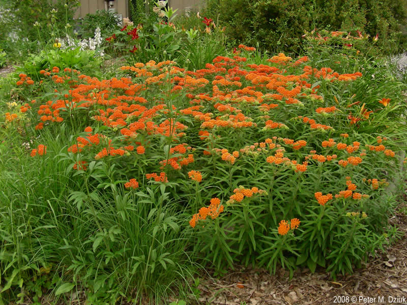 asclepias tuberosa butterflyweed minnesota wildflowers, Beautiful flower