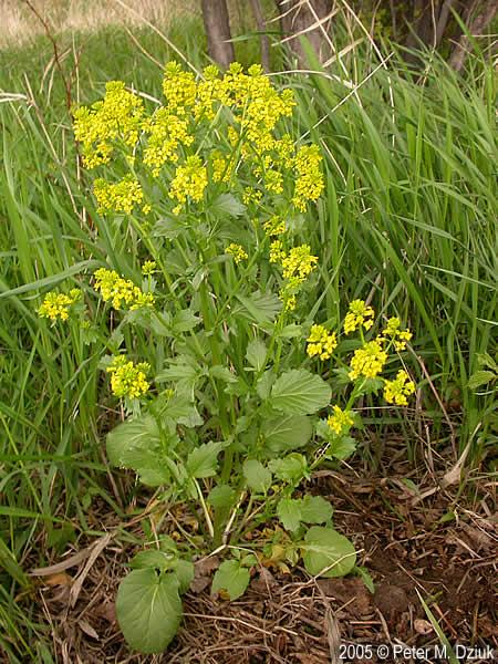 Barbarea vulgaris garden yellow rocket minnesota wildflowers garden yellow rocket plant mightylinksfo