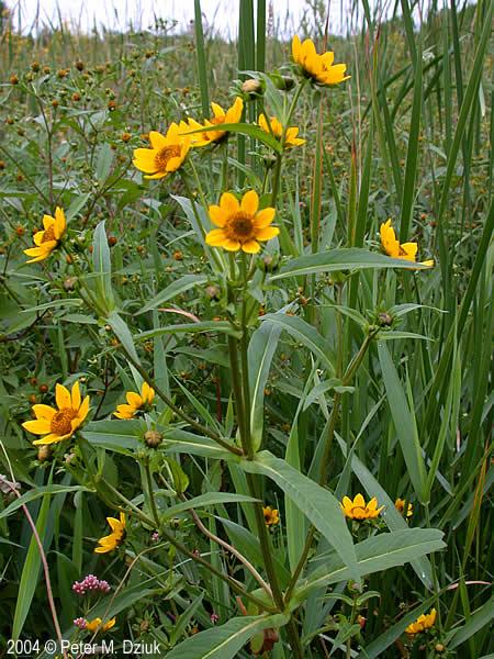 bidens cernua nodding burmarigold minnesota wildflowers