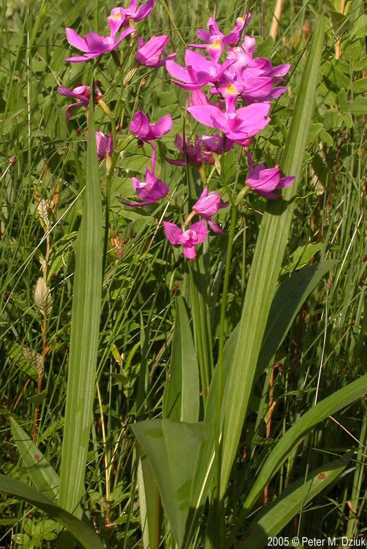 Calopogon tuberosus tuberous grass pink minnesota wildflowers mightylinksfo