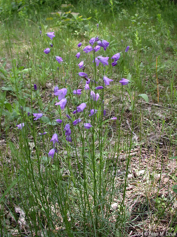 Campanula Rotundifolia Harebell Minnesota Wildflowers